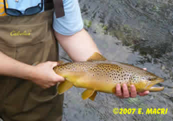 Hold Over Brown Trout Big Spring Creek Newville Pa. Limestone Spring Creek